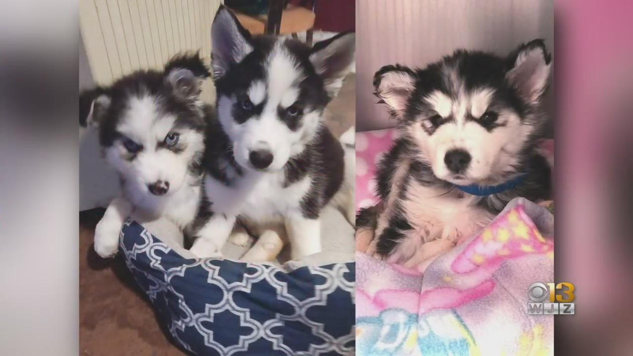 Rescued Husky Puppies Are Healing In Foster Care