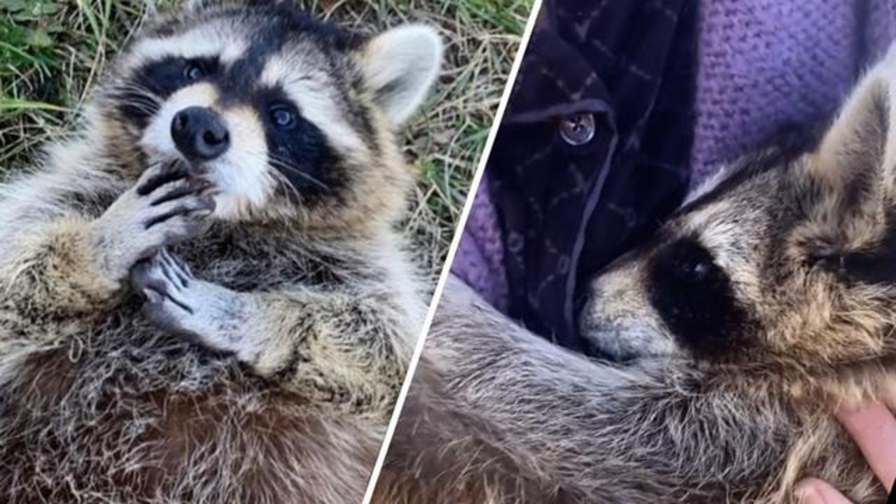 Woman adopts wobbly raccoon rejected by mom