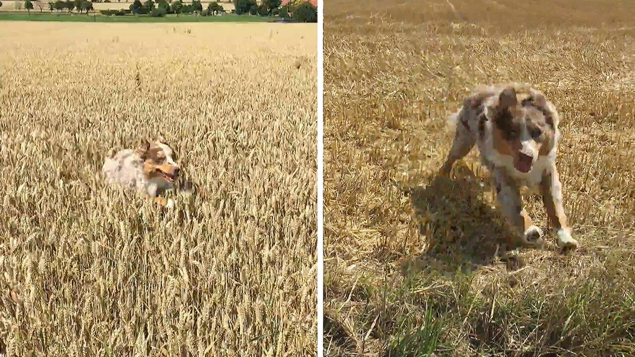 Happiest pup ever runs through field of dreams