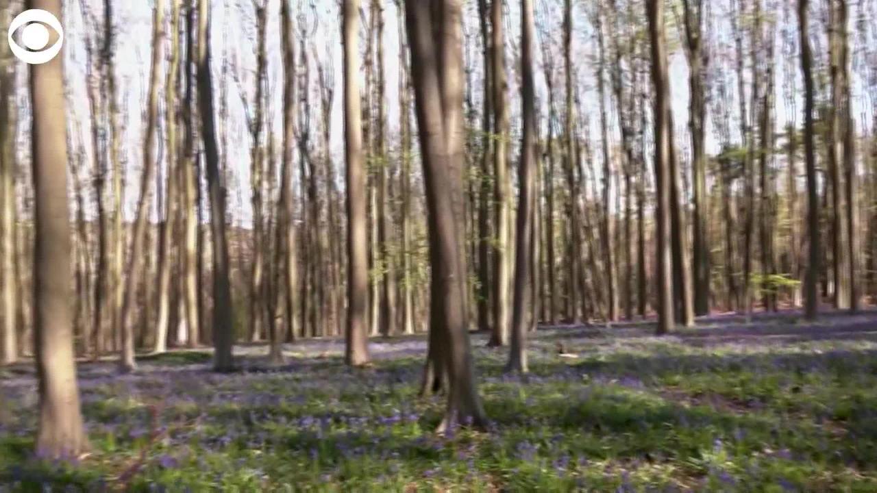 WEB EXTRA: Bluebells Carpet Belgium Forest Floor