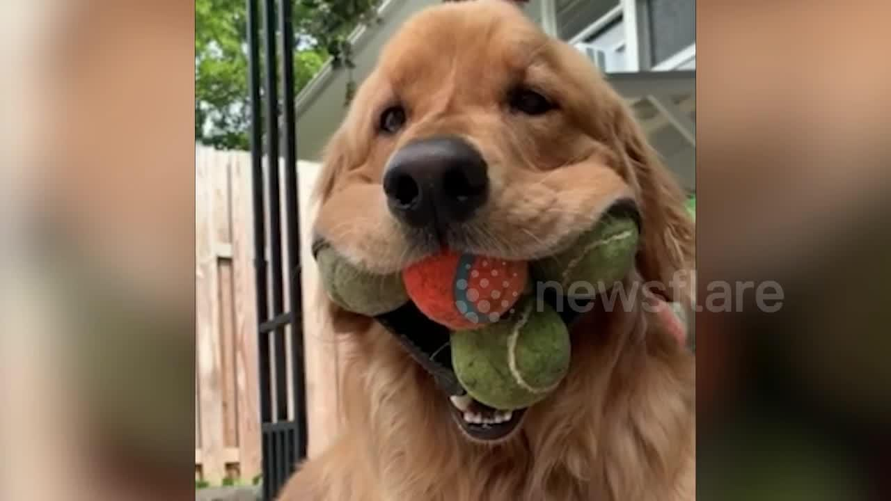 Meet the golden retriever that holds the world record for the most tennis balls held in the mouth