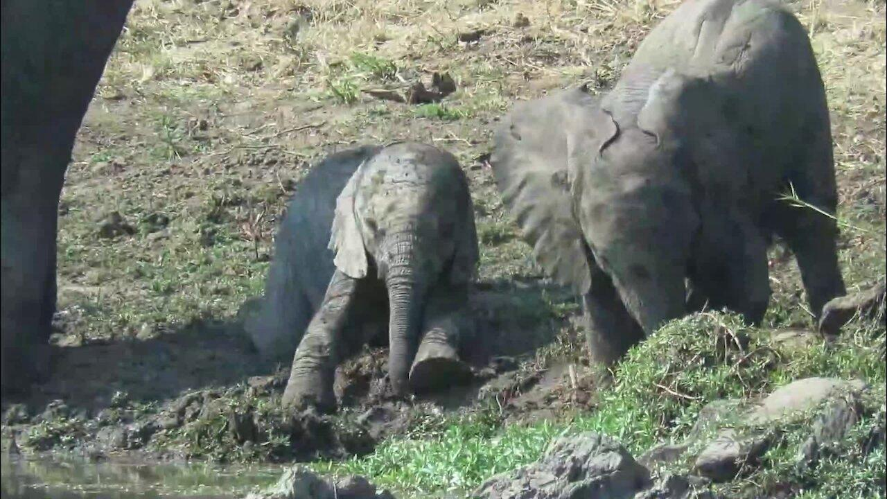 Baby elephant adorably struggles to stand in slippery mud