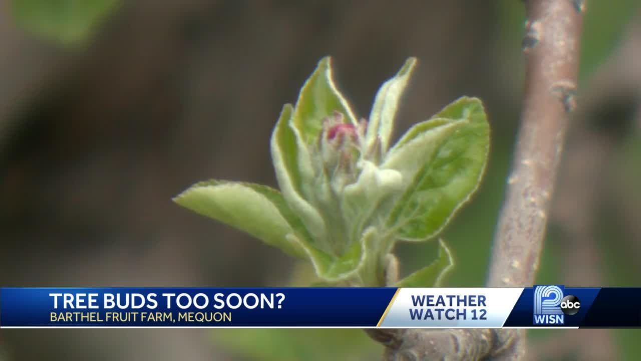 Is it too soon for fruit tree buds?