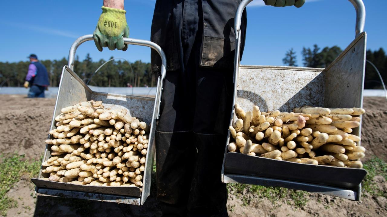 German asparagus season uncertain as COVID curbs shut out workers