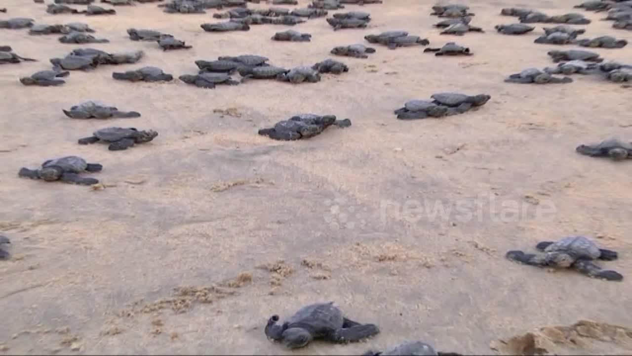 Environmentalists release hundreds of turtle hatchlings on Indian beach