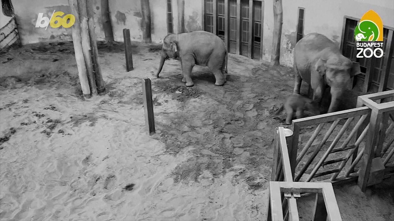 Budapest Zoo's Newest Baby Elephant Takes First Steps!
