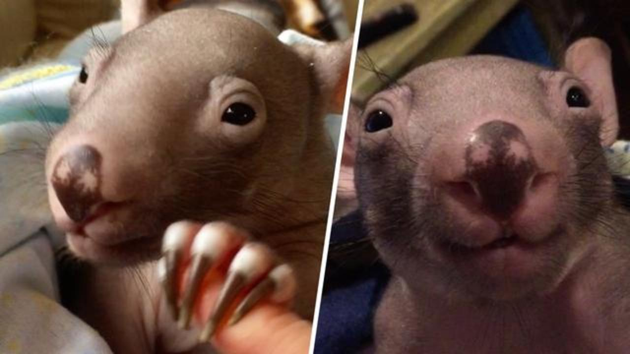 Woman becomes orphaned wombat's mommy