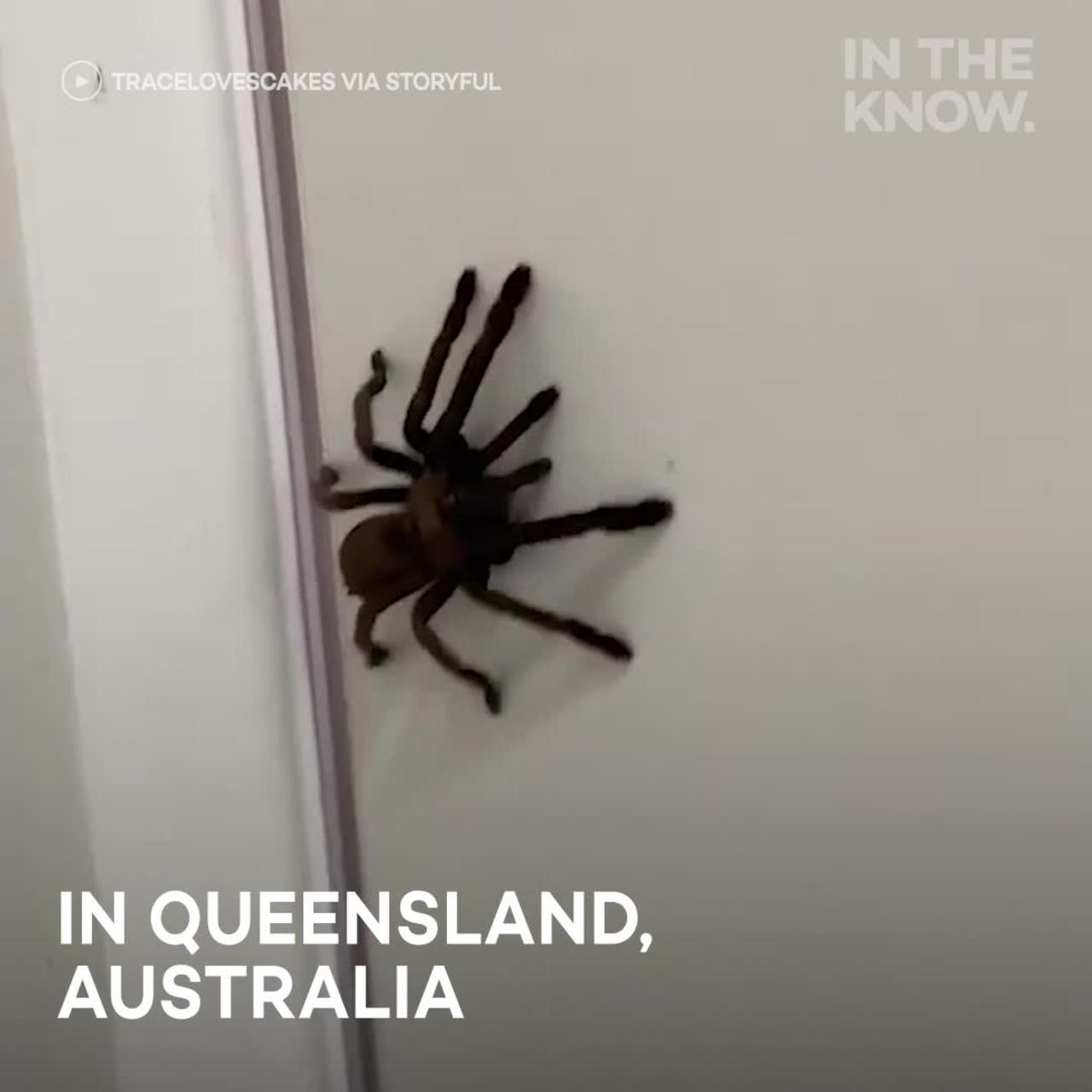 Woman captures giant spider in her own home