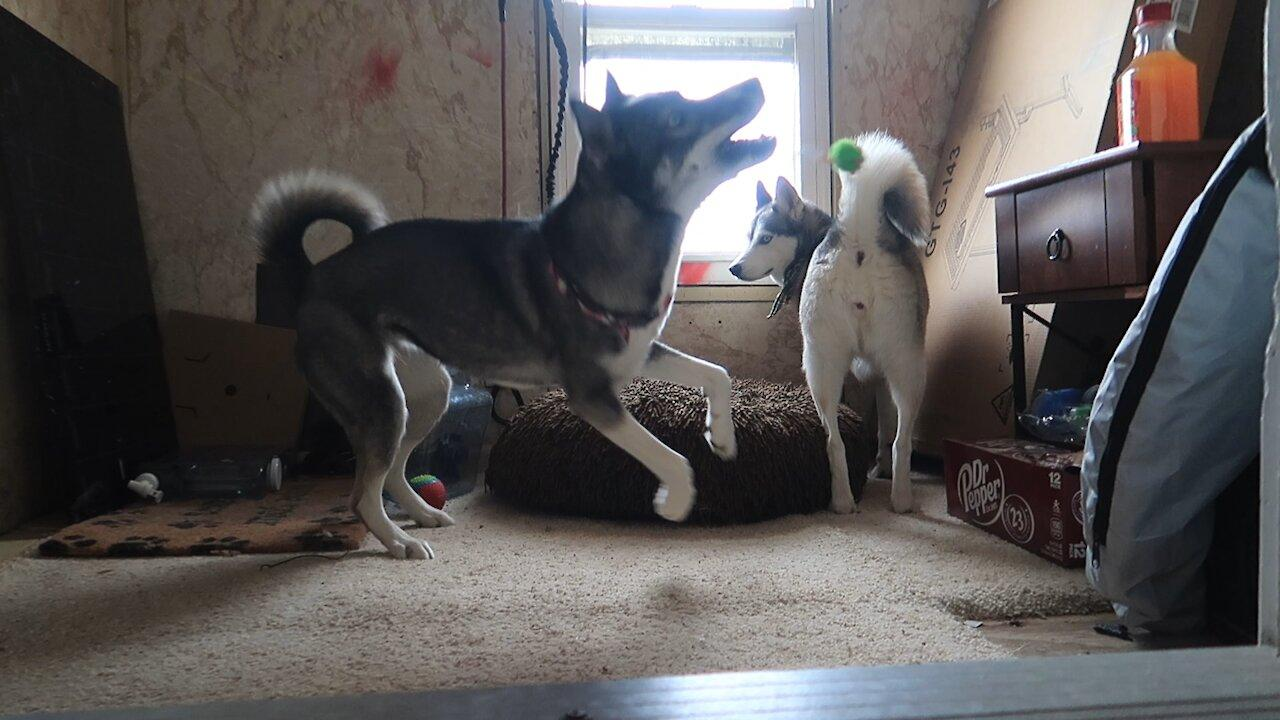 Husky absolutely desperate to get friend to play with her
