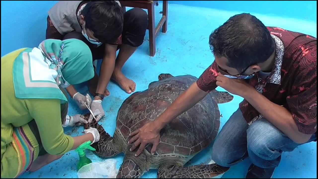 Indonesian authorities detain man for allegedly attempting to smuggle a hawksbill turtle