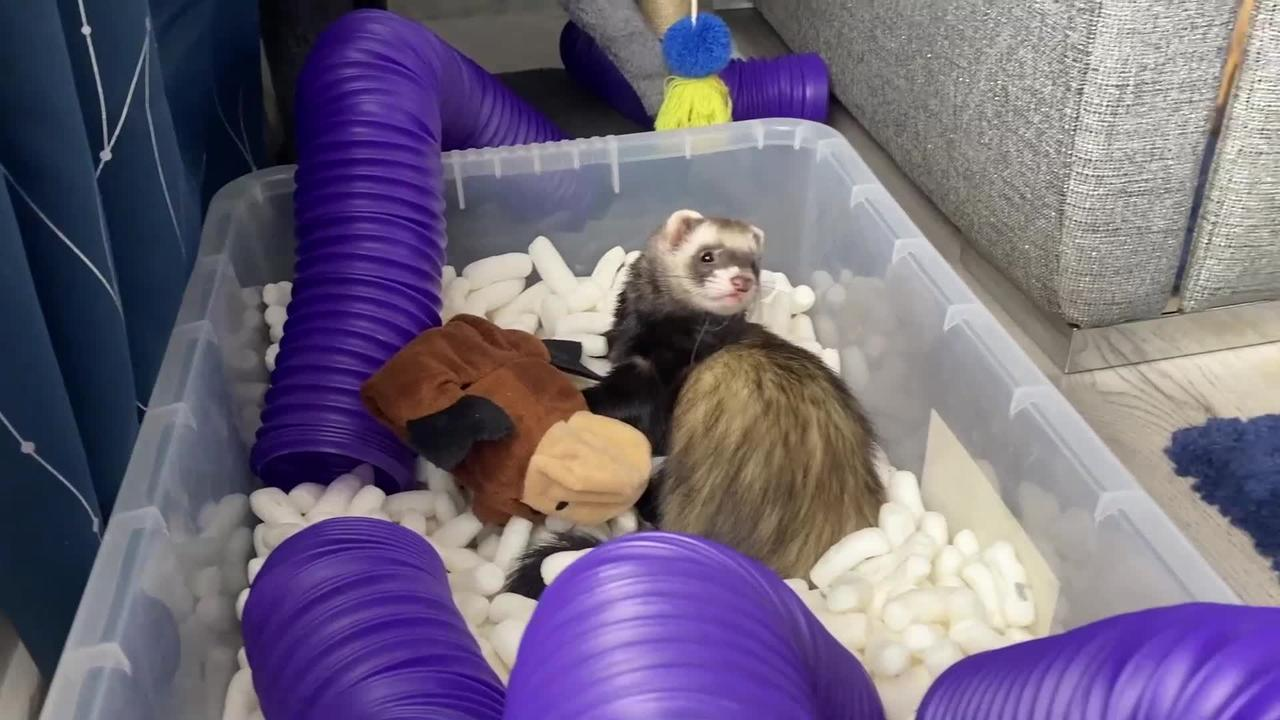 A dog and a ferret which are inseparable BEST FRIENDS have been described as a 'real life Disney movie'