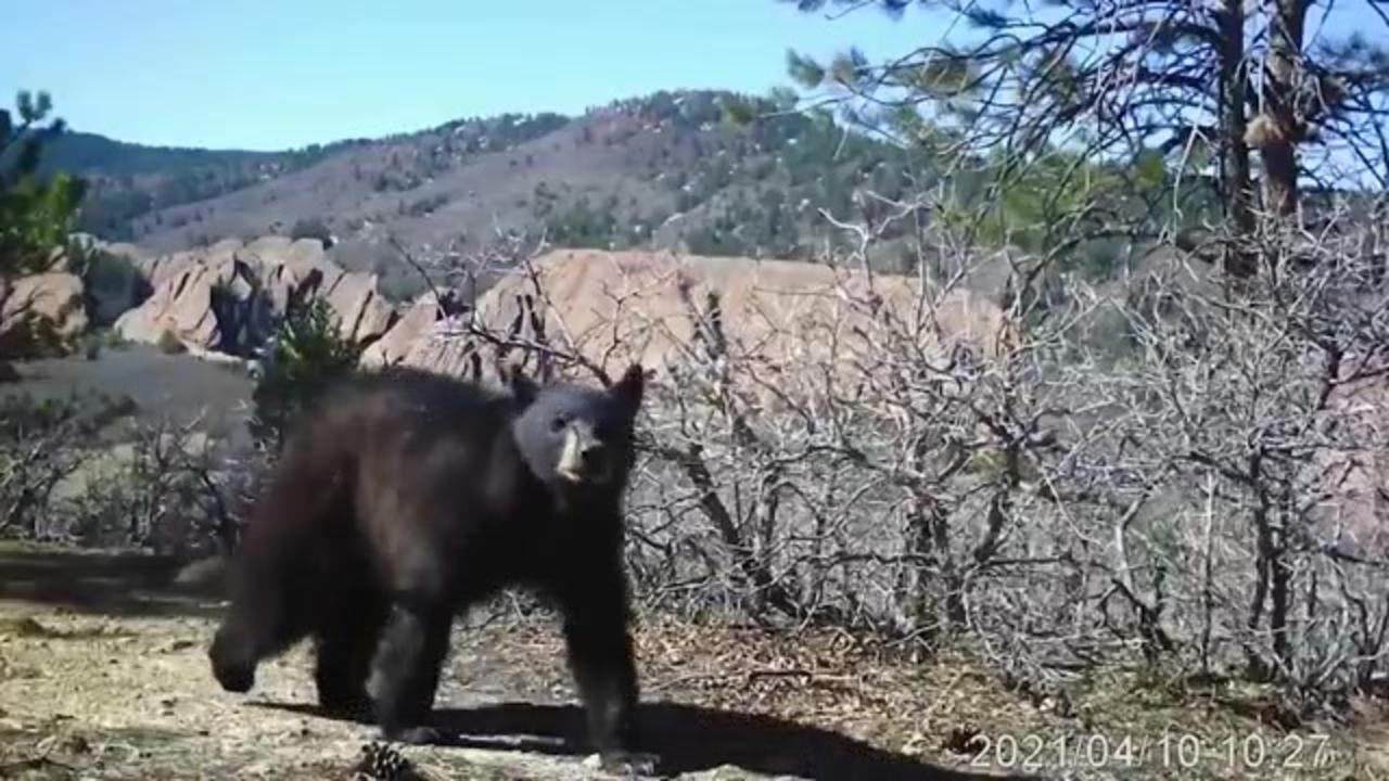 Staying 'bear aware': What to know and do as hungry bears come out of hibernation