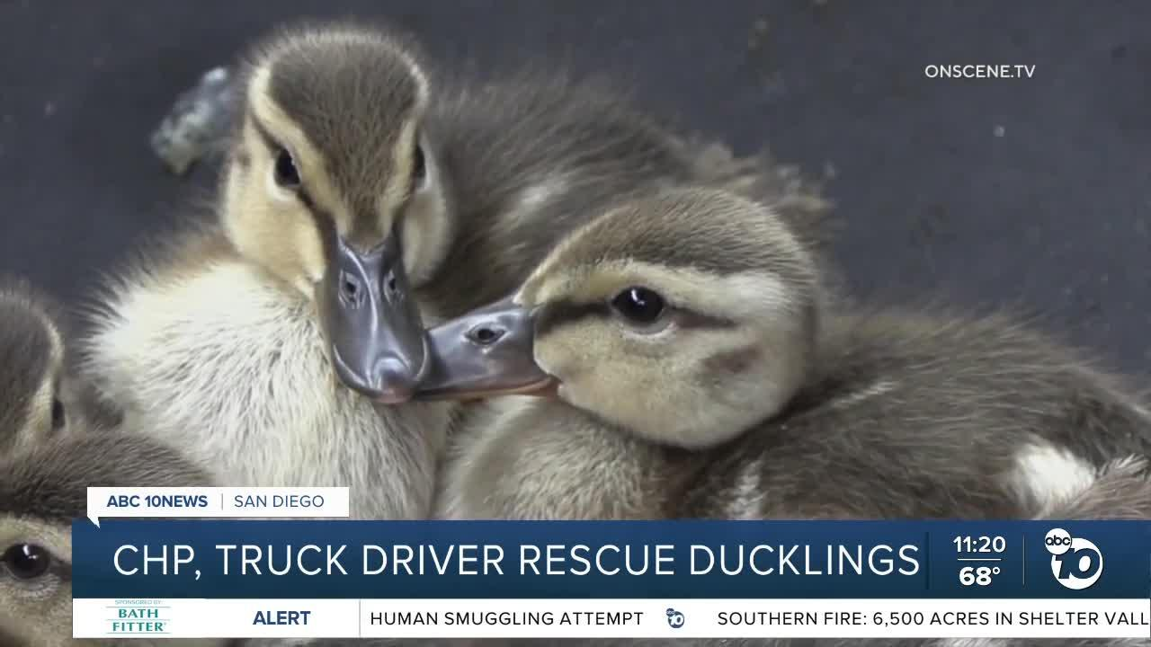 CHP, truck driver rescue ducklings
