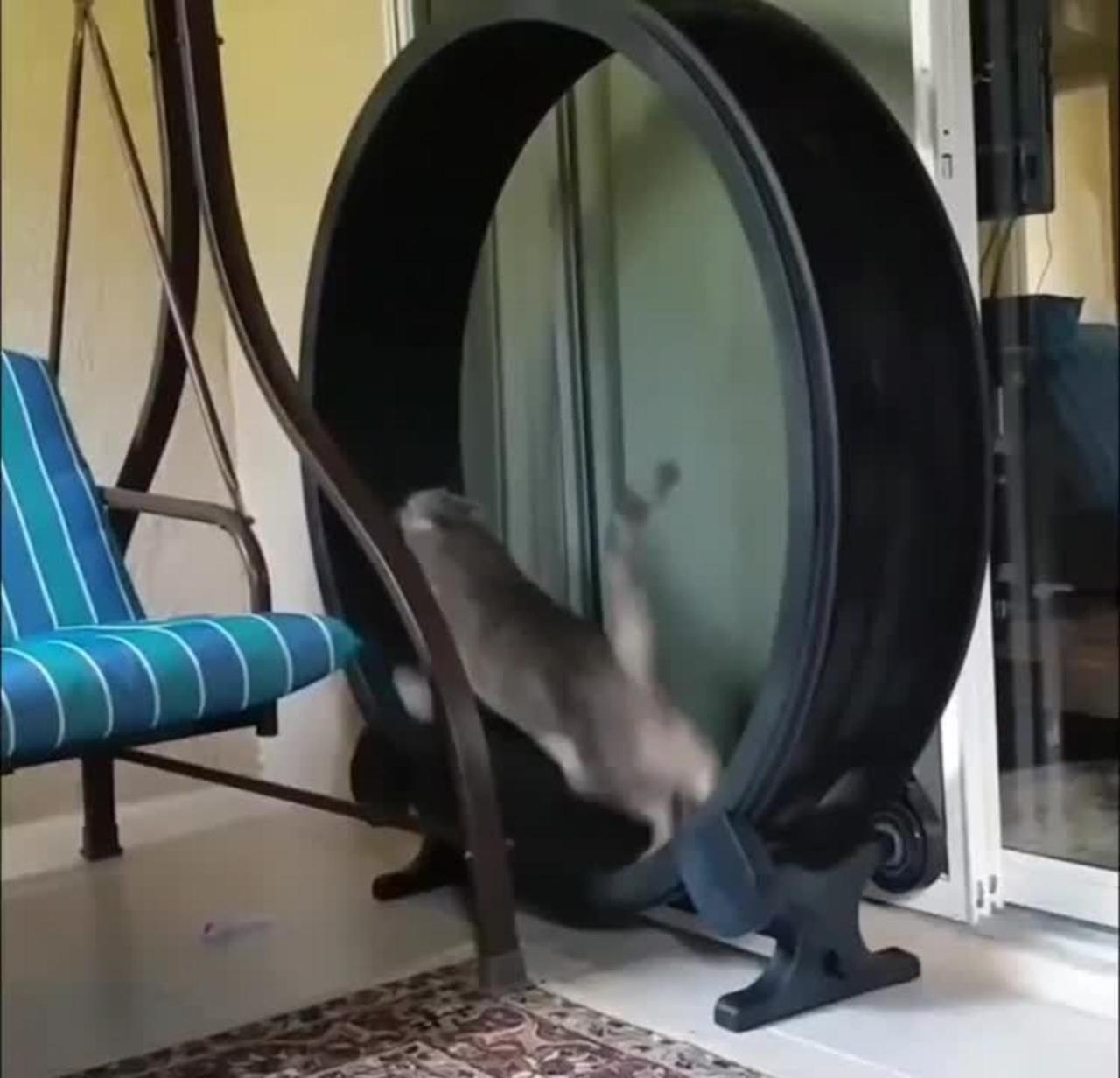 Cat Runs On Wheel At Fast Pace To Lose Weight