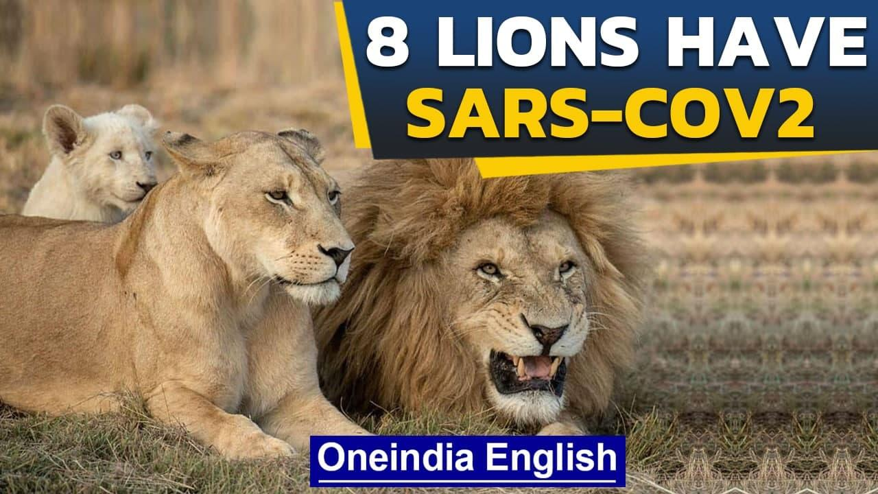 Lions contract SARS-CoV2 virus in Hyderabad Zoo | MOEFCC states no threat to humans | Oneindia News