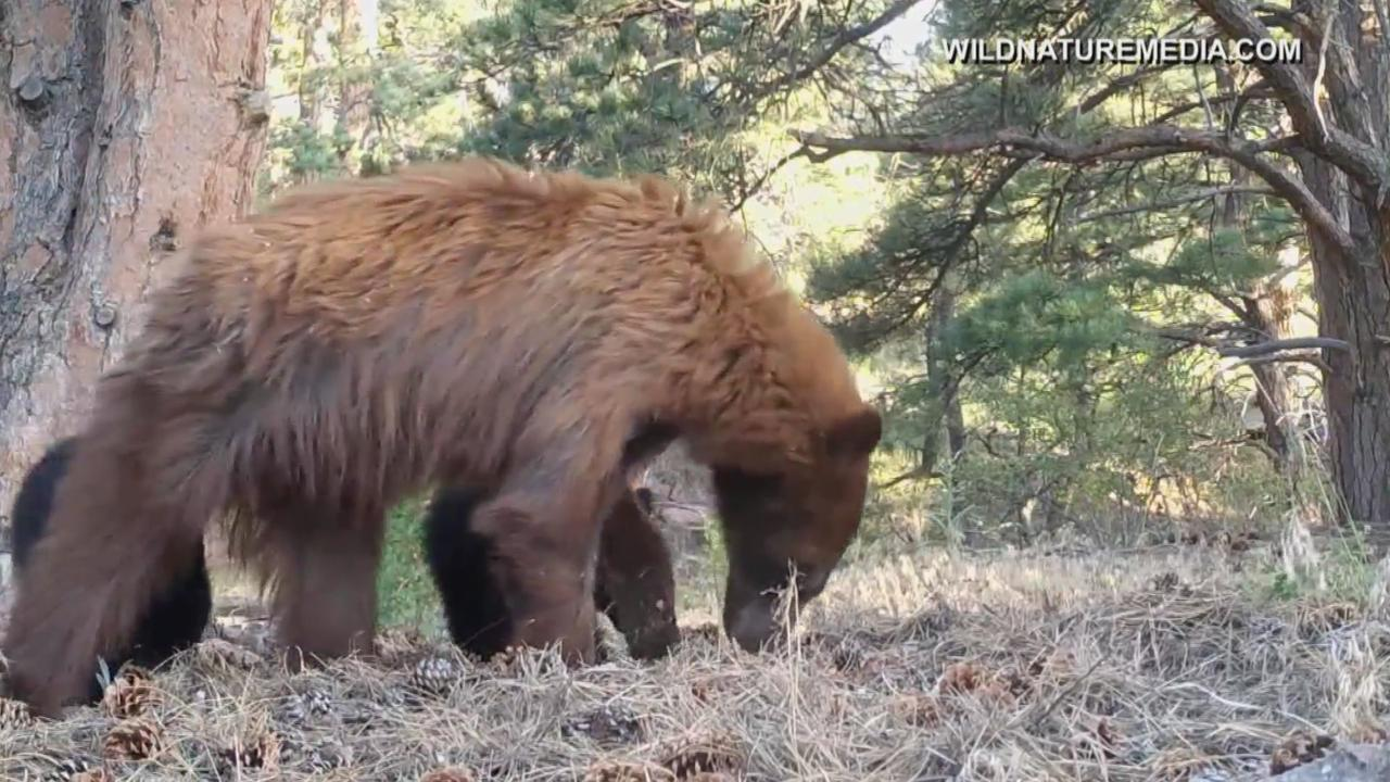 Questions Loom After Colorado Woman Apparently Killed By Brown Bear