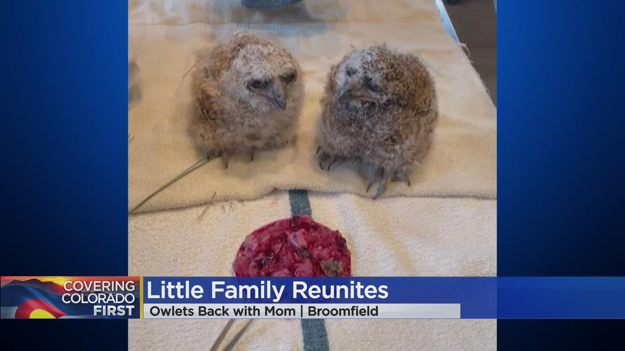 Great Horned Owlets Rescued From Nest After Mama Owl Gets Hurt In Broomfield