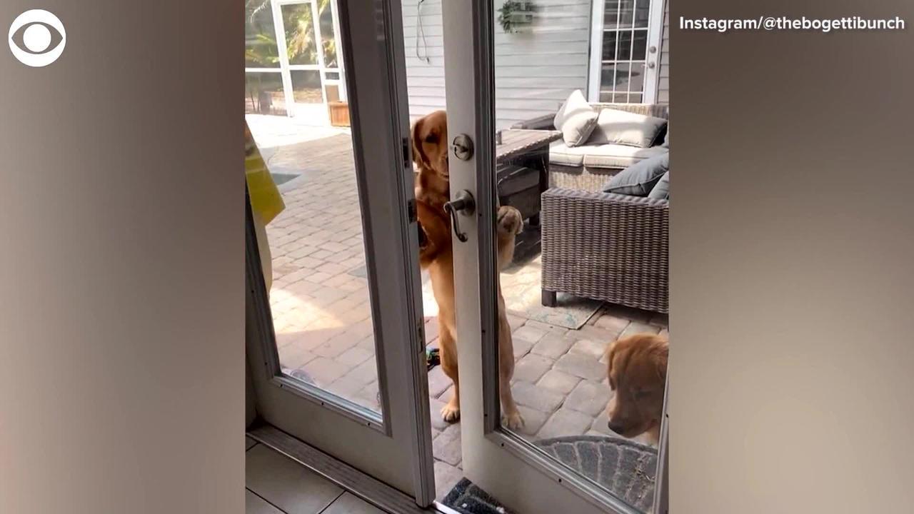 WEB EXTRA: Dog Opens Door Using Doorknob