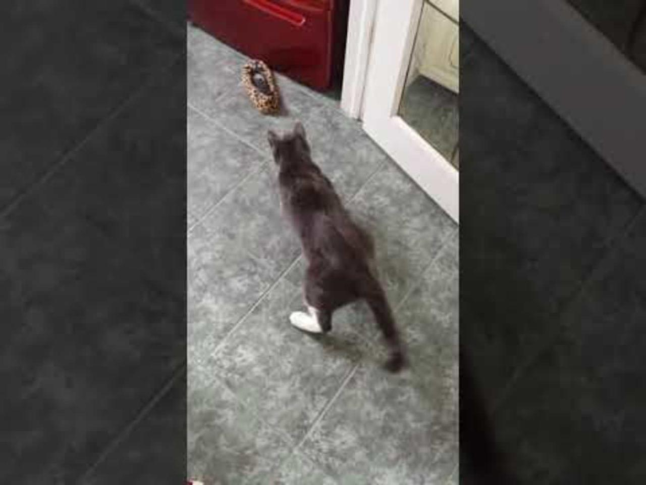 Cat Scared of Shoe Tries to Attack it