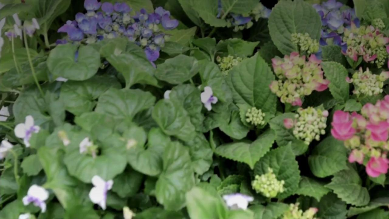 A Spring Hydrangea Checklist: How to Prepare Your Favorite Flowering Shrub for a Colorful Summer Ahead