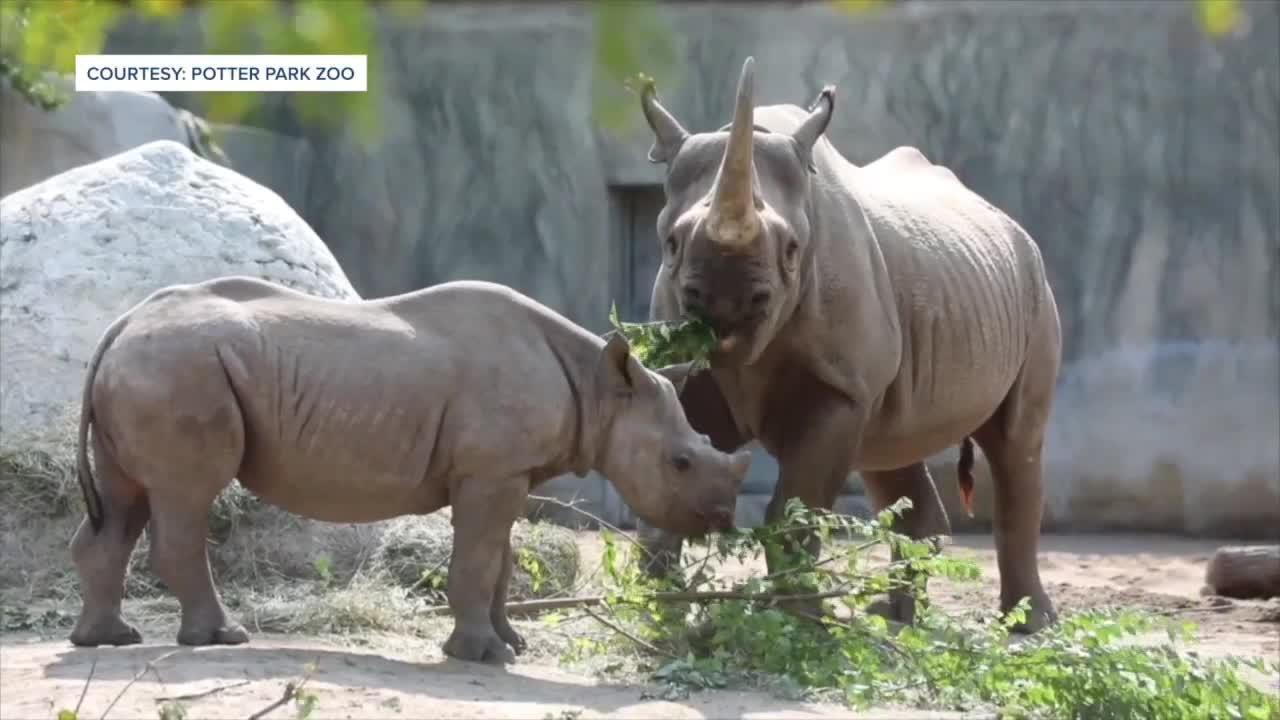 Rare black rhino calf leaving Potter Park Zoo in the fall