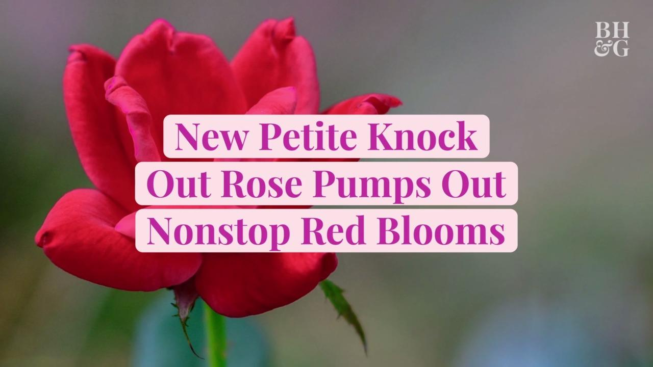 New Petite Knock Out Rose Pumps Out Nonstop Red Blooms on Compact, Easy-Care Plants