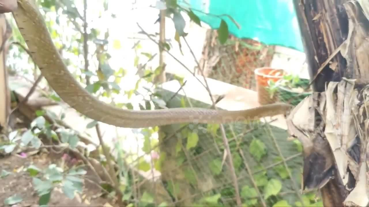 Rat snake lunges at rescuer trying to free it from netting