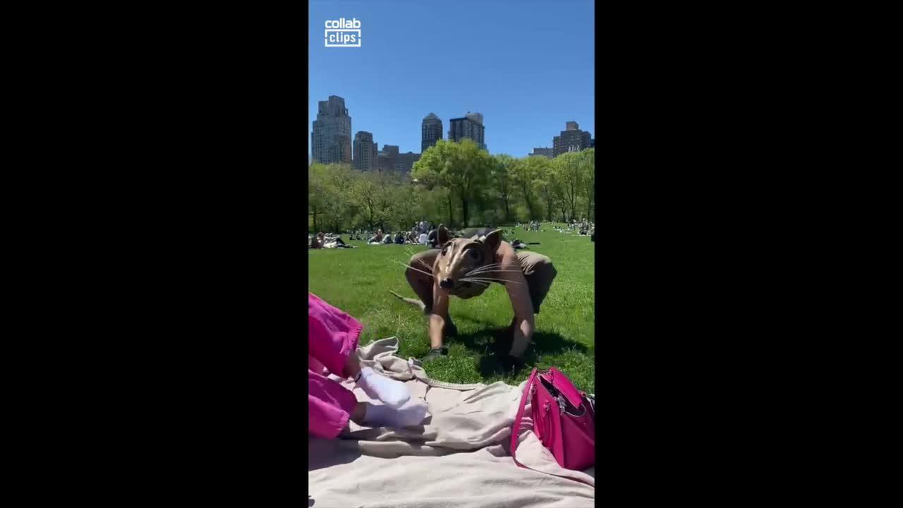 Rat sniffs people at New York park