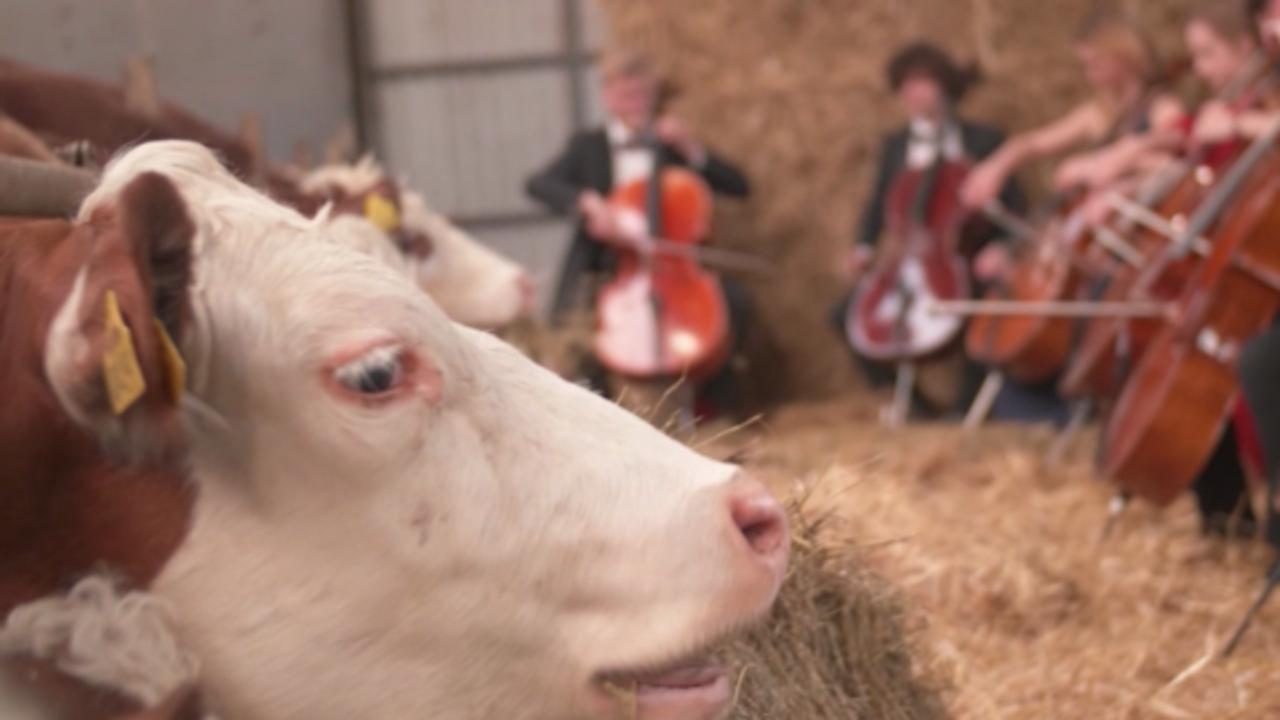 Why these cows are getting a cello concert