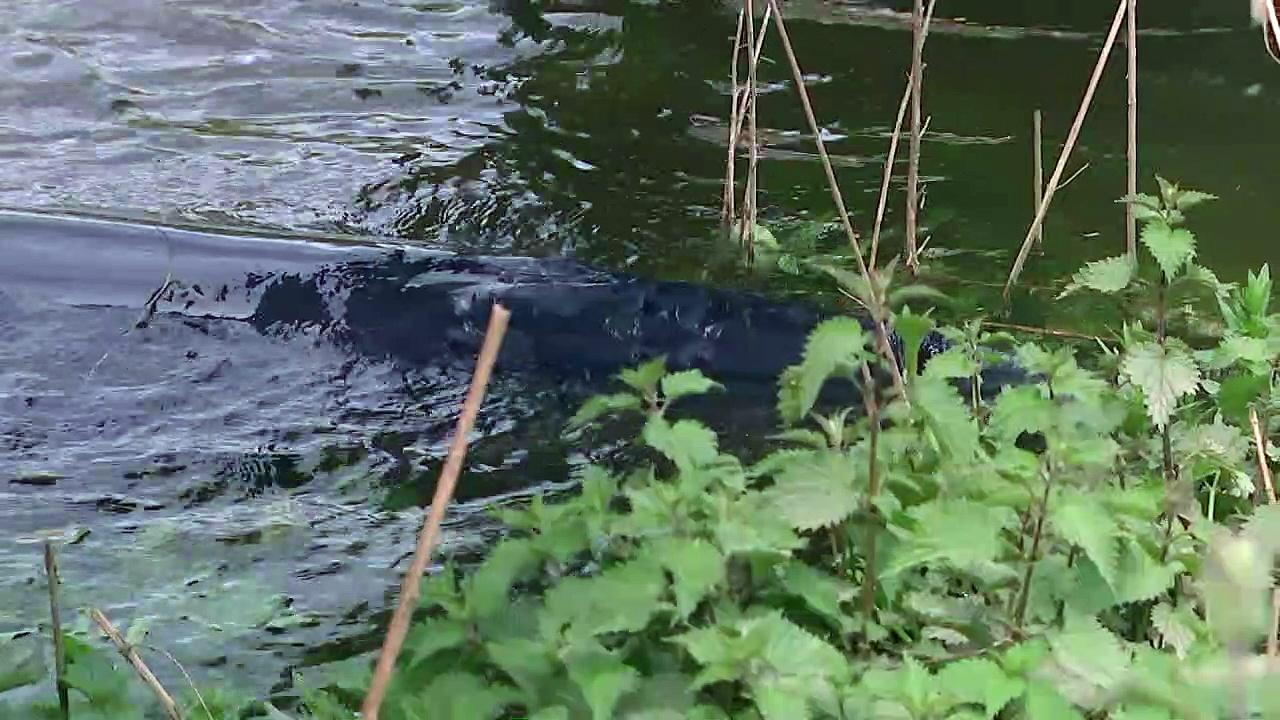 Baby whale spotted near Teddington Lock after being rescued