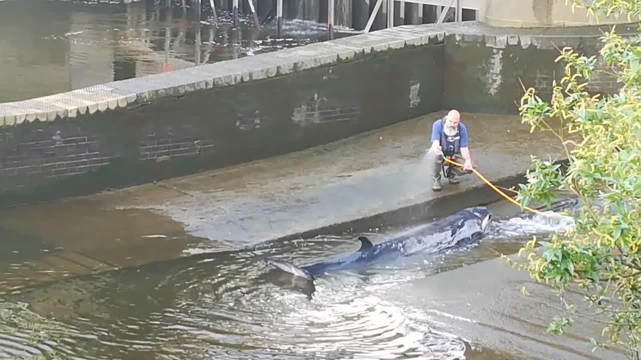Young whale freed after becoming stranded in River Thames, UK