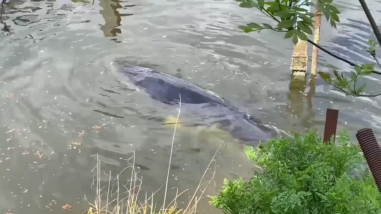 Whale spotted swimming upstream in River Thames day after rescue
