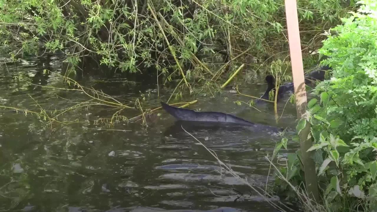 Stranded minke whale in River Thames put down