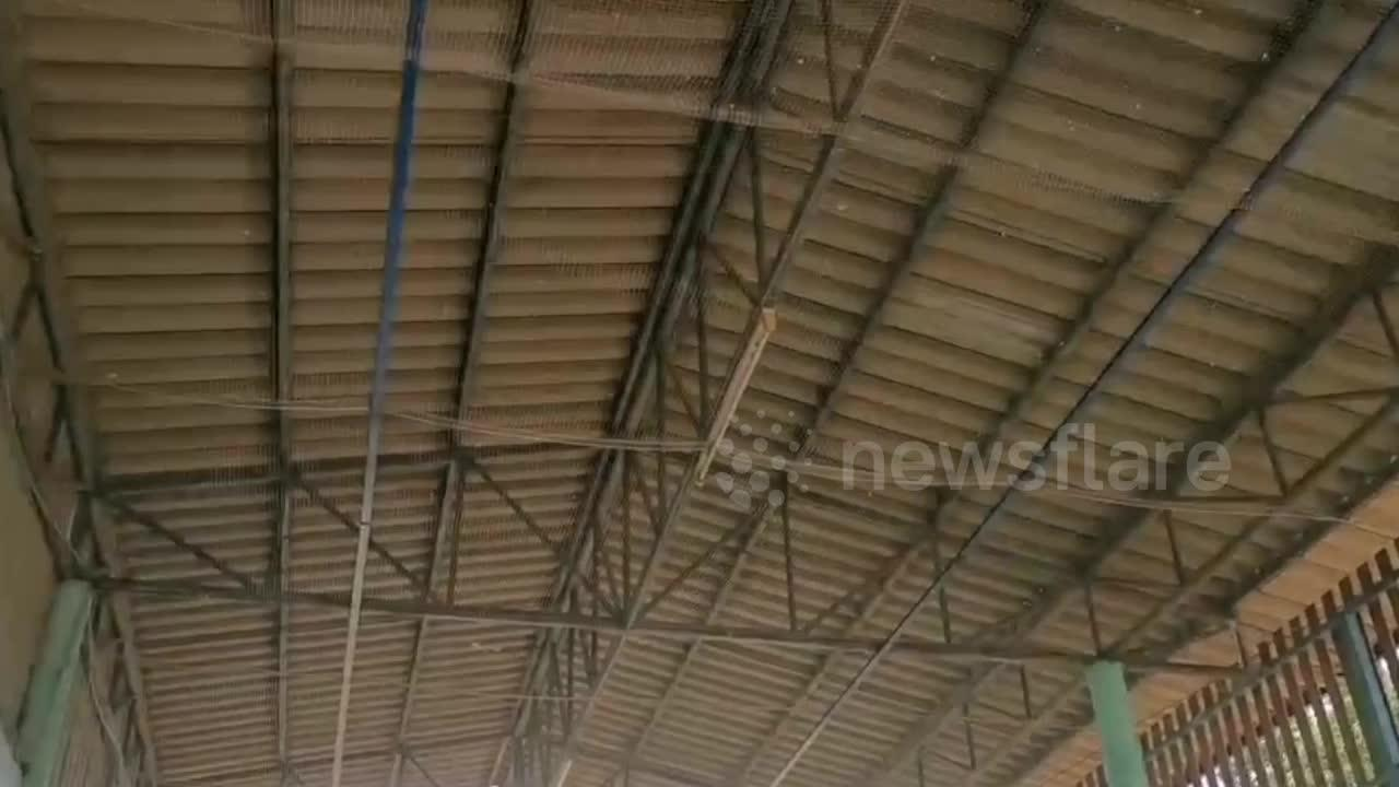 Snake wranglers use crane to catch huge python coiled in roof