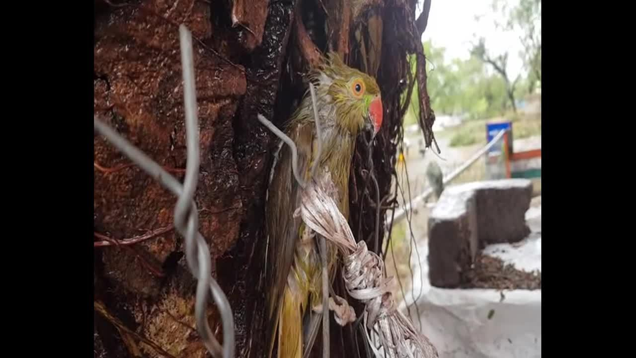 Hundreds of injured parrots rescued by police and and bird lovers after Cyclone Tauktae
