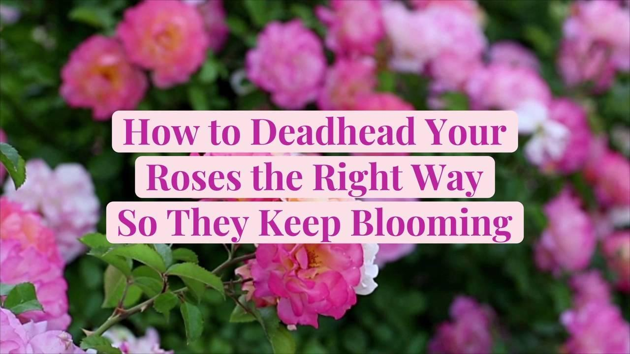 How to Deadhead Your Roses the Right Way So They Keep Blooming