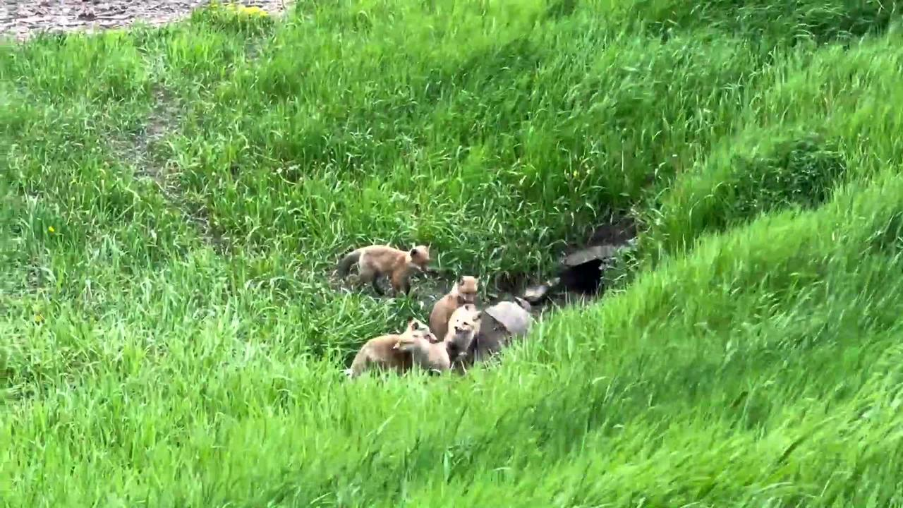 Watch these adorable baby foxes wrestle and play together in the grass