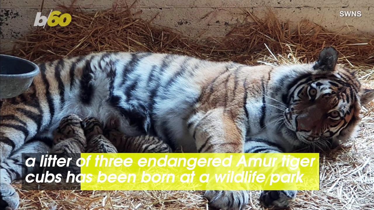 Endangered Amur Tiger Births Three Adorable Cubs
