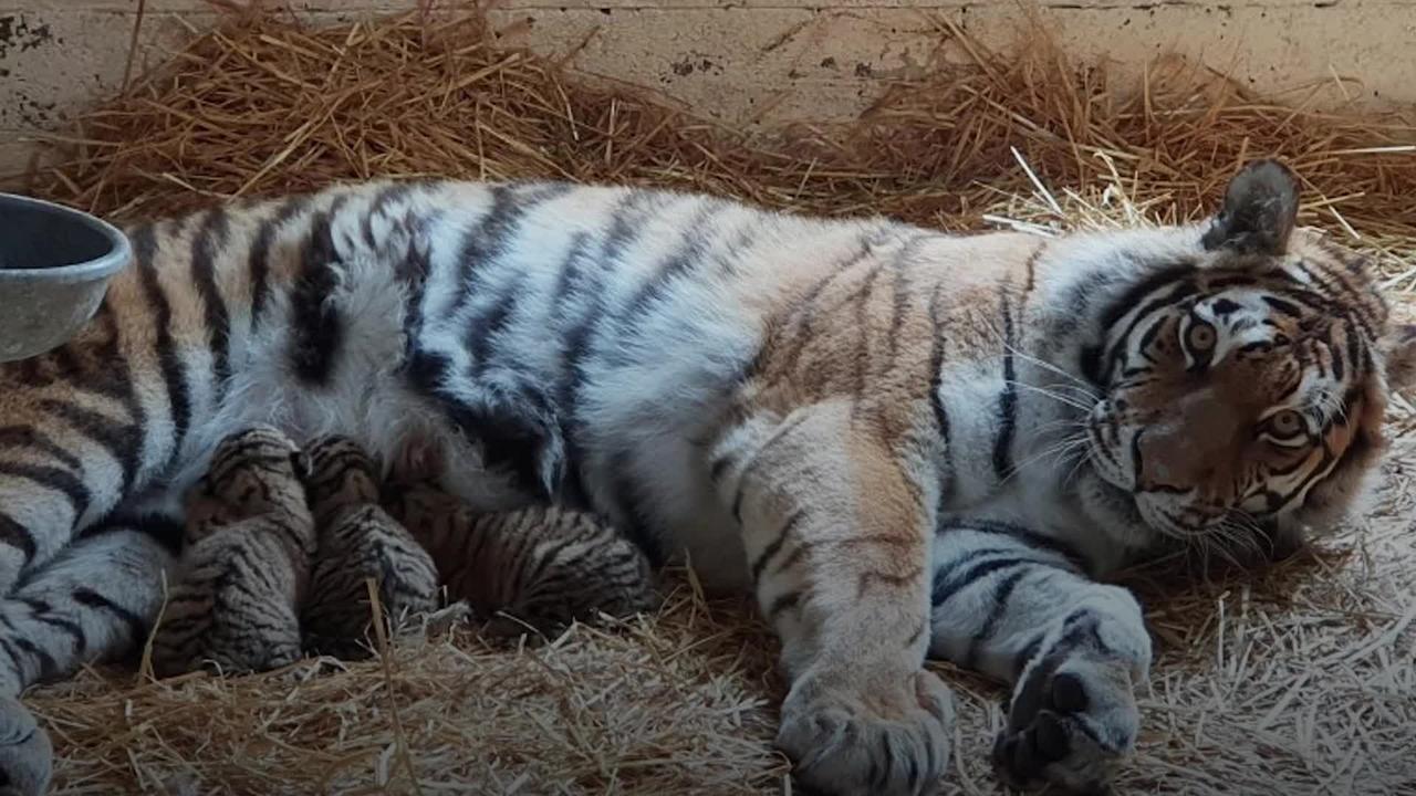 Scotland wildlife park welcomes endangered Amur tiger cubs