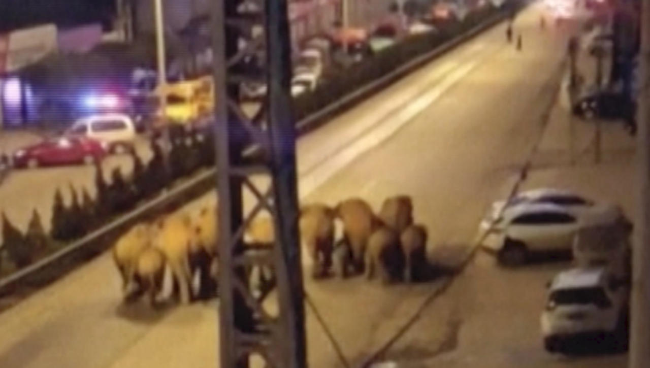 Migrating Elephant Herd Makes Its Way Down Main Street