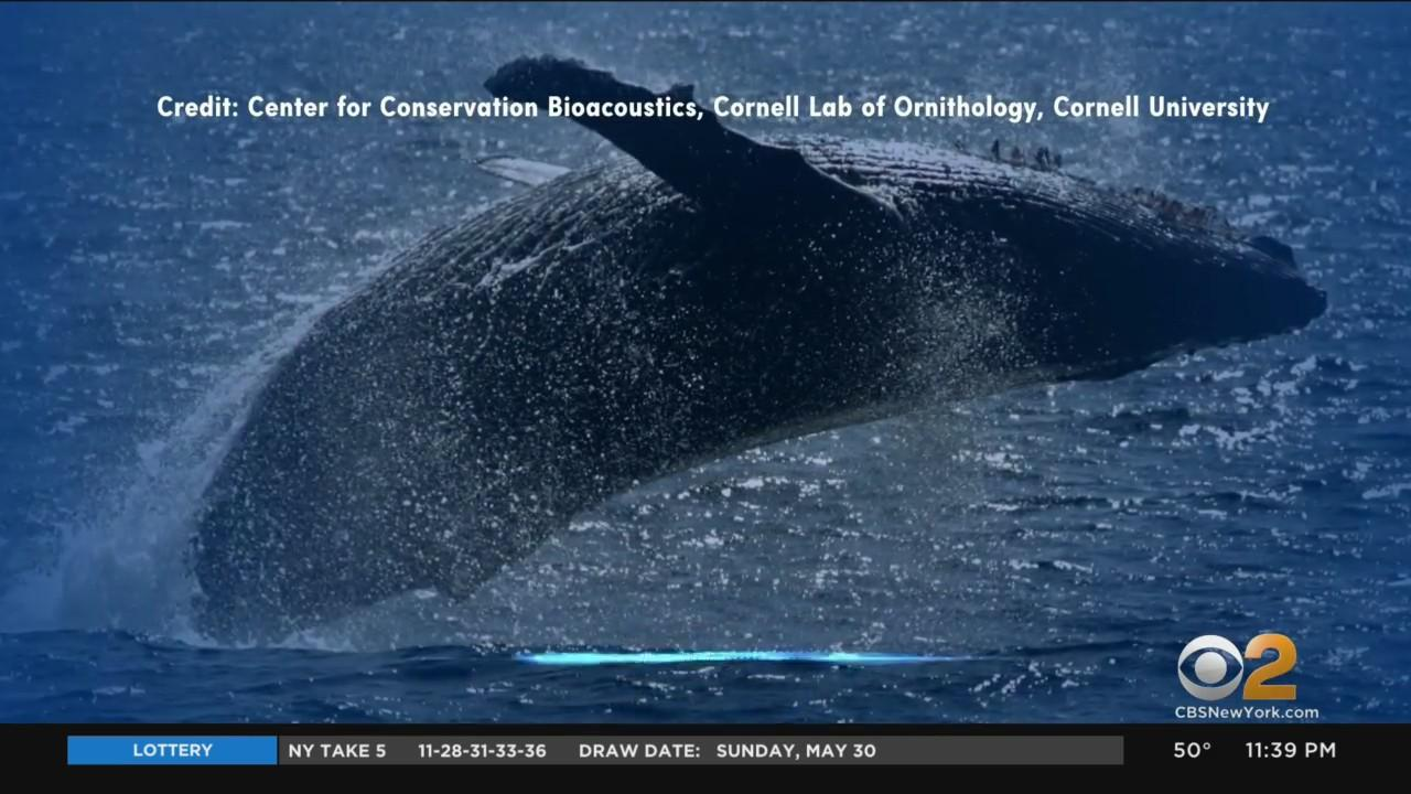 Scientists Now Have Proof Humpback Whales In NYC Waters Sing To Each Other