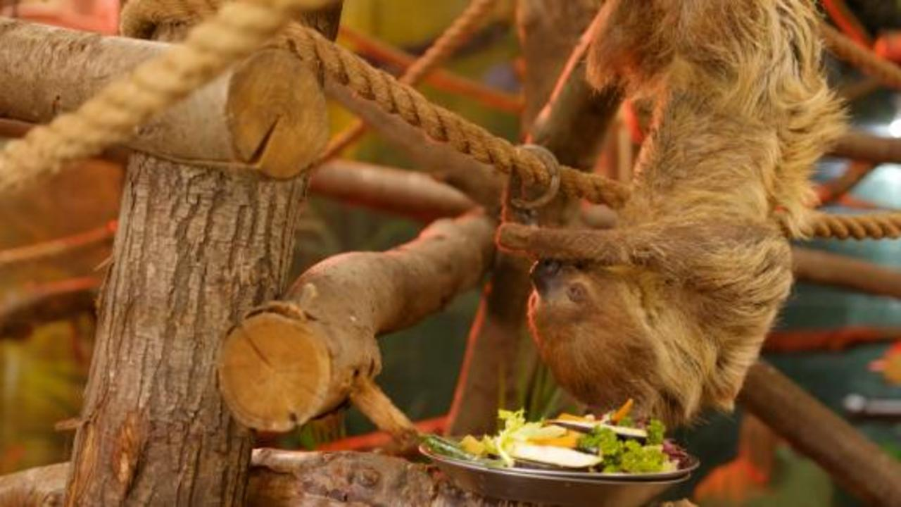 See pensioner sloths' brand new retirement home