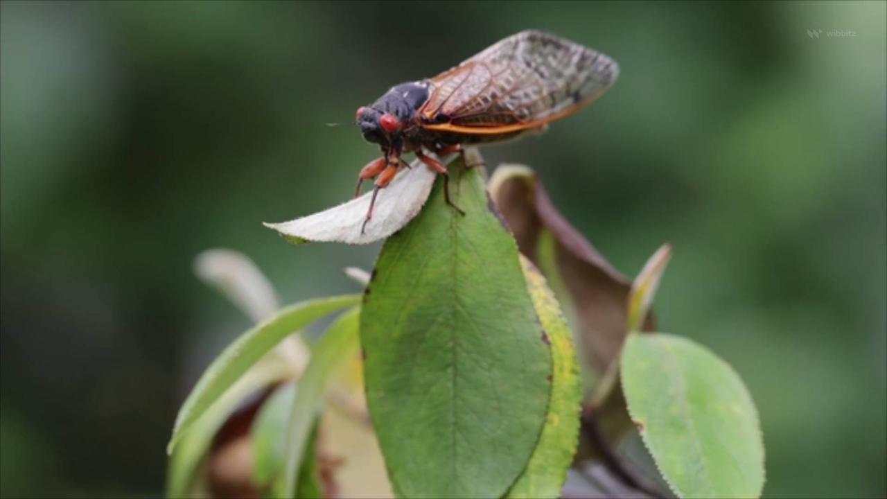 As Brood X Emerges, People Ponder Putting Cicada On The Menu