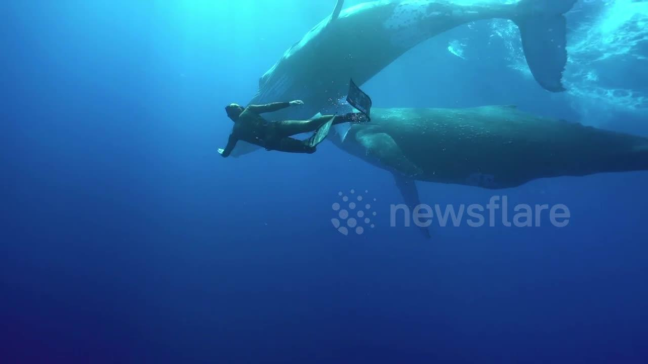 Diver has stunning close encounter with two huge humpback whales near Tonga