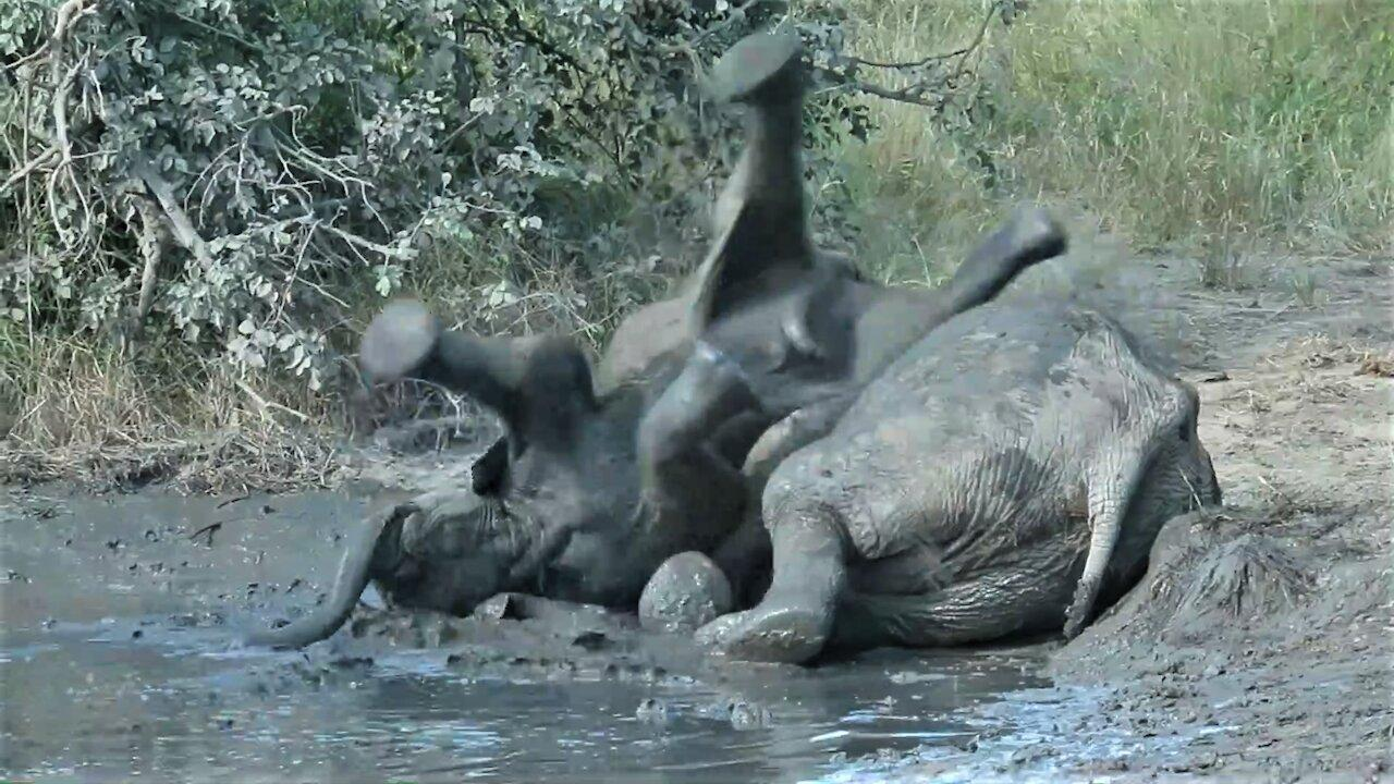 Muddy baby elephant ends up with his feet in the air
