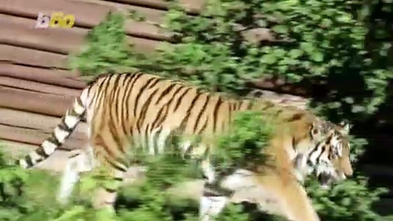Adorable Tiger Cub Babies Born at Polish Zoo