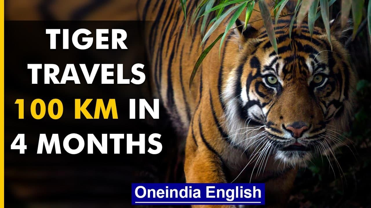 West Bengal: Tiger travels 100 km to reach Bangladesh Sunderbans | Know all | Oneindia News