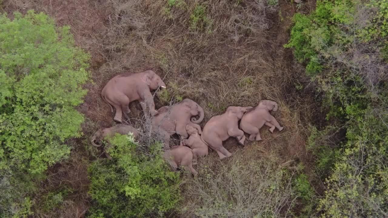 China's viral elephant herd take a nap after trekking 500km across country