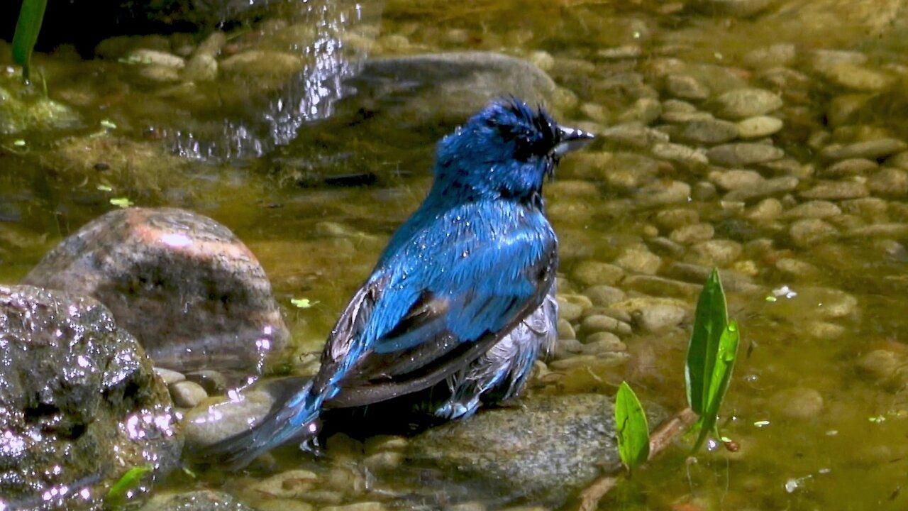Brilliantly colored indigo bunting bird enjoys a bath in the pond