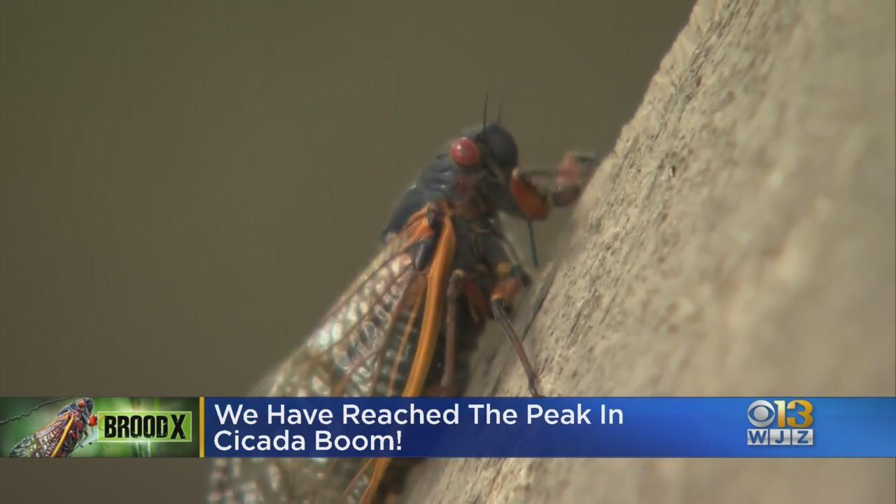 We Have Reached The Peak In The Cicada Boom!
